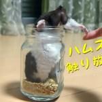 こんな体勢で触られたハムスターの反応は…?おもしろ可愛い癒しハムスターWhat is the reaction of Funny  hamsters touched by such posture?