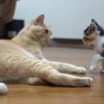 ちっちゃい子猫が誰相手でも挑んじゃう姿がおもしろかわいい 三毛子猫ですが何か?その16