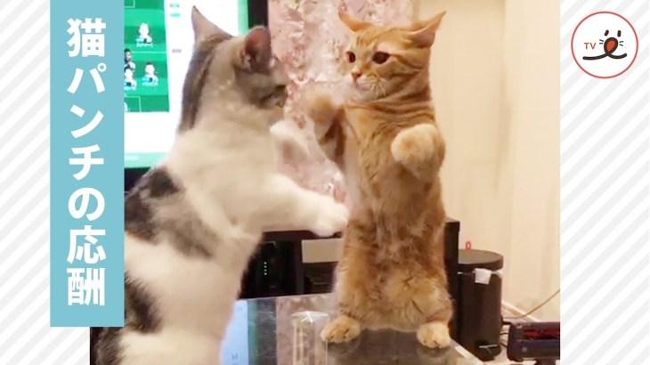 子猫のかわいいケンカがはじまったよ💕 ポコポコ…気がすみました…💦【PECO TV】