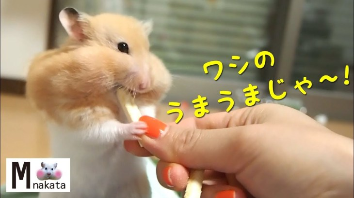 手でグイッ!押し退けて餌を奪うけど顔は可愛いハムスター!おもしろ可愛い癒しハムスターFunny hamster take away food but face is cute!