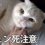 キュン死注意!甘えテク連発で身悶えするほどかわいい猫。スコティッシュフォールドのはく
