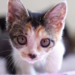 カメラを向けると近づいて来ちゃう子猫がかわいい! 三毛子猫ですが何か?その15