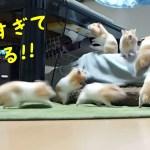 懐きすぎ!仕事中もそばを離れないハムスター!おもしろ可愛い癒しハムスターFunny hamster that is too good friends to stay away from work!