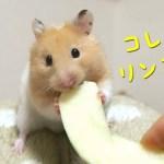 ハムスターが初めてリンゴを食べた反応は?おもしろ可愛い癒しハムスターHow did the Funny hamster eat apples for the first time?