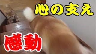 感動!先輩犬の先導で初めて階段を上れた柴犬まめ