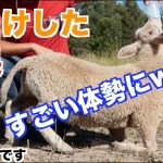 赤ちゃん羊(ひつじ)をしつけた結果、凄いポーズを披露してくれた