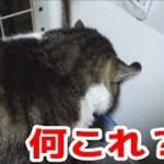 驚き!自由すぎる猫リキちゃん☆マジ寝する姿も場所もやばすぎるw【リキちゃんねる 猫動画】Cat video キジトラ猫との暮らし