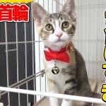 【猫】新しい首輪がくっそかわいい子猫たま:26日目【Kitten】