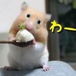 【ハムスター】めっちゃ喜ぶおやつ!それは…?おもしろ可愛い癒しWhat is snack that hamsters are pleased with?
