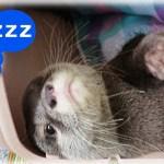 カワウソ コタロー 最高にカワイイ!ねんねの時間 Kotaro the Otter Cutest Sleeping Face