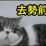 去勢前夜の子猫【猫】【かわいい】