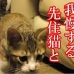 かわいい子猫が突然お家にやってきた-その時、先住猫達は・・・?!4週間目-7kitten came to our house 27