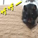 【ハムスター】笑える!座椅子は遊び道具だった!おもしろ可愛い癒しFor hamsters the seat chair is a play tool!