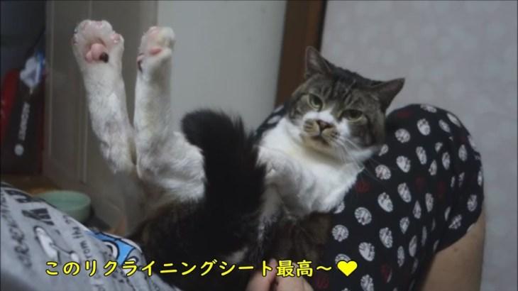 パパの膝の上を思う存分楽しむ猫リキちゃん☆かわいい抱っこ姿☆甘えん坊猫【リキちゃんねる 猫動画】Cat video キジトラ猫との暮らし