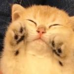 ばんざーい❤️ 子猫のかわいい「おてて」とかわいい寝顔に悶絶…!😍 【PECO TV】