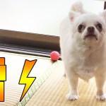 雷に驚きながら家を守る!チワワのへっぴり自宅警備犬2!|Chihuahua's busy home security guard dog 2!