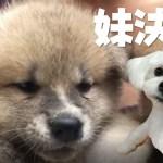 可愛い秋田犬の赤ちゃんが3日後我が家にやって来る。この子に決まりました!「らんぷ」ちゃんです。