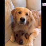 騙されたゴールデンレトリバー犬の顔が超ウケる・ かわいいゴールデンレトリバーのハプニング, 失敗動画集
