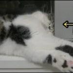 飼い猫の凄い寝相を紹介します【#猫】【かわいい】