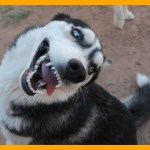「かわいい犬」頭がいっているハスキー犬が超面白い