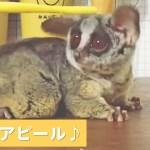 ショウガラゴの体をカキカキ💕 → すると次の瞬間、ビックリなおねだりポーズをしてきた😳【PECO TV】
