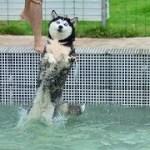 「おもしろ犬」笑わないようにしてください・人間化したハスキー犬が超面白い