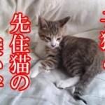 かわいい子猫が突然お家にやってきた-その時、先住猫達は・・・?!6週間目1-kitten came to our house 38