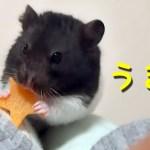 【ハムスター】おやつの早食いが可愛すぎて…?おもしろ可愛い癒しThe hamster eats too fast is too cute!
