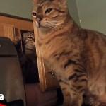 おもしろかわいいネコのハプニング動画集【Video Pizza】