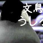 なぜか面白い文鳥の後ろ姿 桜文鳥ほーちゃん 文鳥動画