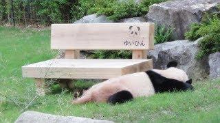 【かわいい♥】ゆいひんのいすのそばで寝ている桜浜♪ Relaxation Panda Movie♪