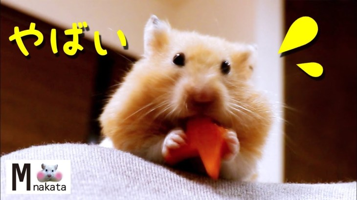 【ハムスター】めっちゃ可愛い!星型にんじんが口に引っ掛かった結果…?おもしろ可愛い癒しHamster is funny when carrot is caught in the mouth
