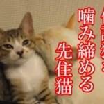 かわいい子猫が突然お家にやってきた-その時、先住猫達は・・・?!6週間目6-kitten came to our house 43