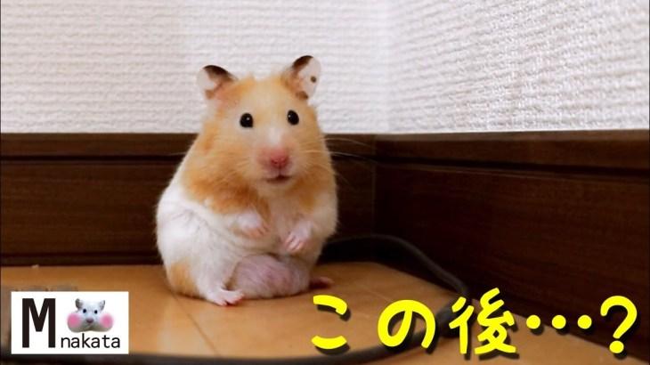 【ハムスター】懐きすぎ!ハムスターと目を合わせるべき!なぜなら…?おもしろ可愛い癒しYou should make an eye contact with hamster!