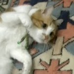 ちょっと感動!メス猫にお腹を見せたあーにゃん 仲良くなりたくて!玄関開けたら猫がいて・・