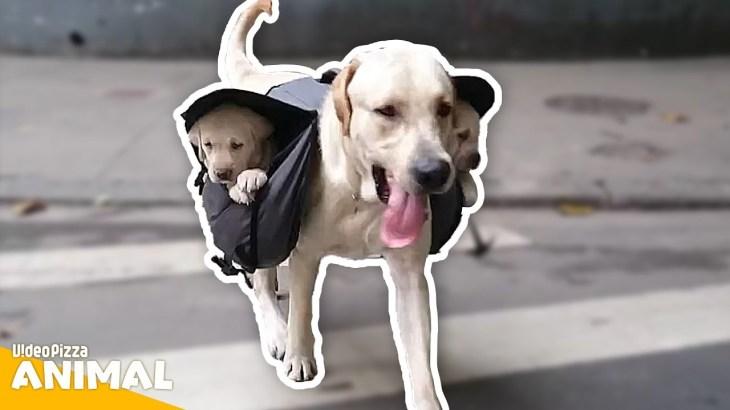 【面白い動画】  かわいい犬 – 世界の面白いペットの動画 #06【Video Pizza】