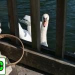 白鳥と猫の感動秘話 美しき思い出はインスタグラムで永遠に‥【Eng CC】
