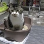 ハプニング☆おトイレをしようとしたらまさかの事態に焦りが隠せずニャーニャー鳴く猫リキちゃん【リキちゃんねる 猫動画】Cat video キジトラ猫との暮らし