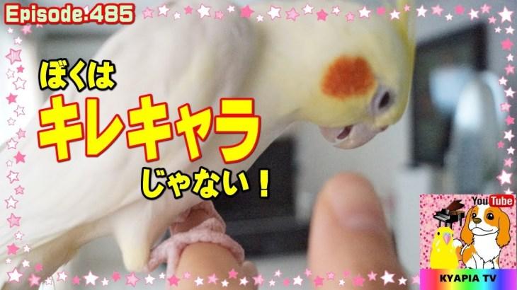 キレるエマの本当の姿・甘えるオカメインコが可愛い485 Funny Parrots and Cute Birds.