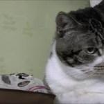 しらんぷりするのが上手すぎる猫☆怒り顔が可愛い♥カリカリを強襲したリキちゃん☆盗み食いしたのかって聞いたら不機嫌顔【リキちゃんねる 猫動画】Cat video キジトラ猫との暮らし