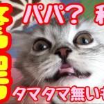 子猫ふわたん タマタマ無い驚き顔に大爆笑!むぎふわkitten