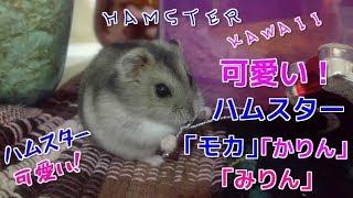 【可愛い!ハムスター】「モカ」「かりん」「みりん」☆ハムスター可愛い☆Hamster cute healing☆