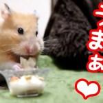 【ハムスター】100均カップで豆腐サラダを作るとめっちゃ可愛い顔が見れる!おもしろ可愛い癒しHamsters who eat tofu salad are too cute