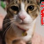甘えん坊モードになった子猫がかまってちゃんでかわいい:おつたま58日目