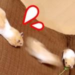 【ハムスター】落下するハムスター面白すぎ!ビックリしてひっくり返る!おもしろ可愛い癒しFalling hamsters jump up and surprise!