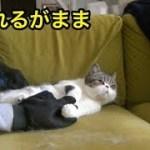 飼い猫、新たなブラッシング兵器でなすがまま。【猫】【かわいい】