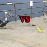 The Animal Version of  Playing Hard to Get!! Pelican vs Hawk!