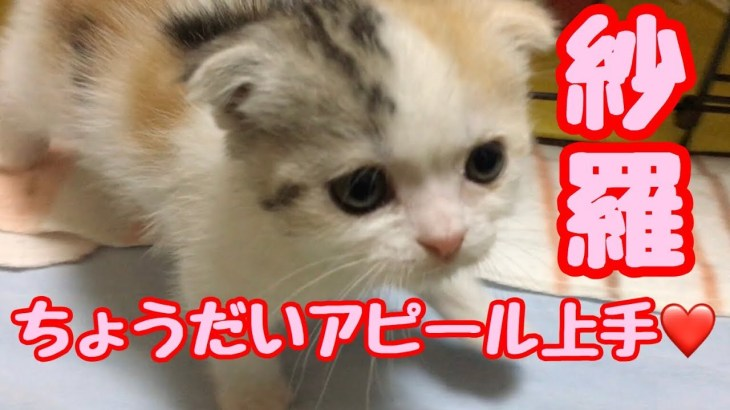 赤ちゃん猫 ちょうだいアピールがすご過ぎてビックリした‼️むぎさらkitten