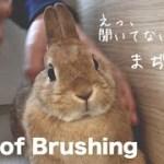 ブラッシング中のうさぎの顔が可愛い Rabbit of brushing #330
