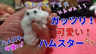 【ガッツリ!可愛い!ハムスターたち】☆ハムスター可愛い☆Hamster cute healing☆